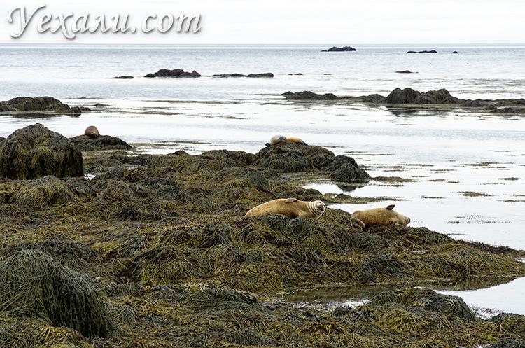 На фото: тюлени на пляже Ytri Tunga, Исландия.