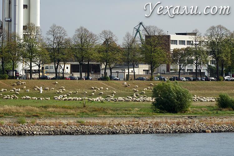 Фото овец в Кельне