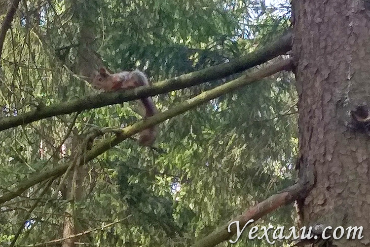 Белка в подмосковном лесу.