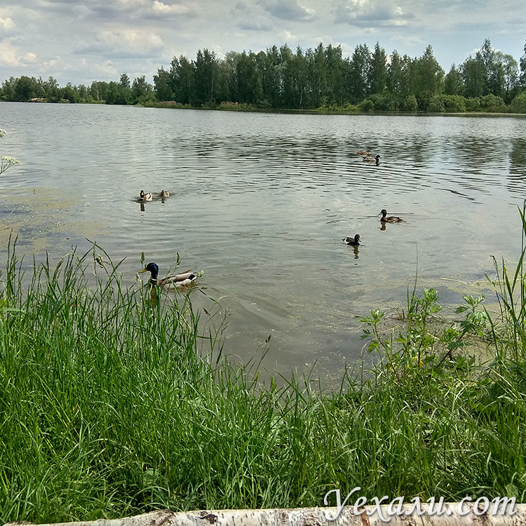 Утки плавают в озере, Московская область.