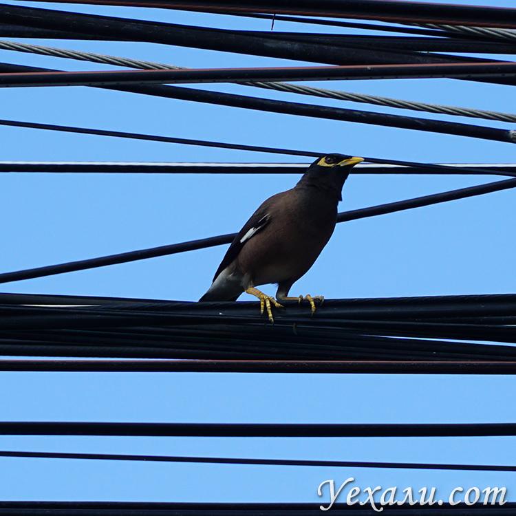 Птица майна в Таиланде.