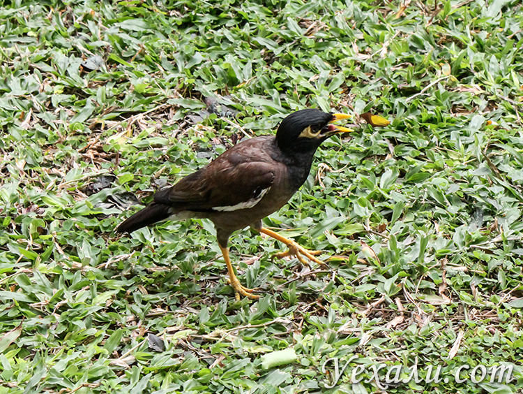 Птица обыкновенная майна ест корм.